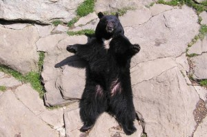 A big bear sitting down and waving all its paws.jpg400x400